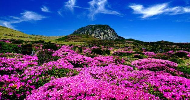 Waktu Tepat Melihat Bunga Mekar Di Pulau Jeju