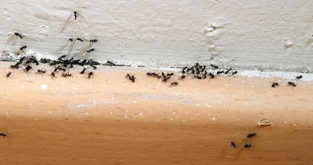 Tips Mengusir Semut Jauh-Jauh Dari Rumah