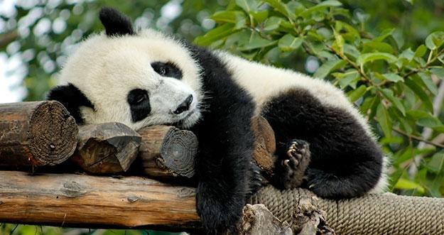 Benarkah Panda Bisa Baru Mau Kawin Setelah Menonton Film Porno?