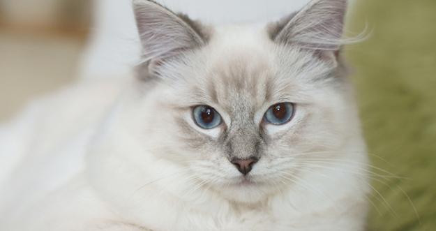10 Jenis Kucing Paling Lucu Di Dunia