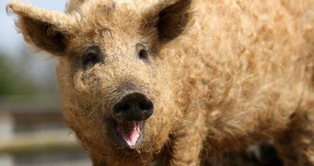 Mangalitsa, Si Babi Berbulu Domba Dari Hungaria