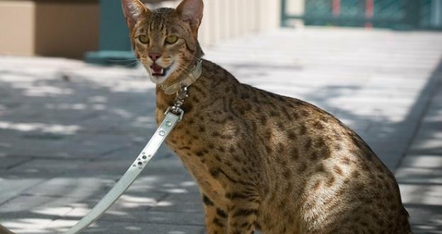 10 Ras Kucing Termahal Dunia
