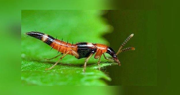 Cara Menghadapi Semut Charlie atau Tomcat