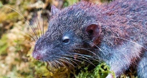 Tikus Baru Pemakan Akar