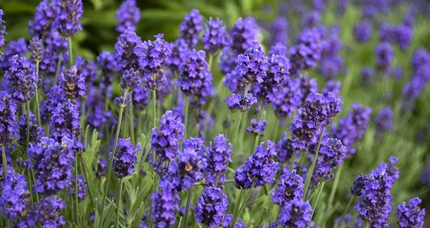 10 Bunga Yang Bisa Dimakan Dan Manfaatnya