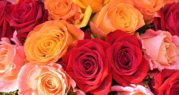 6 Jenis Warna Bunga Mawar Beserta Artinya