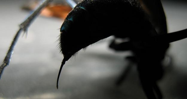 10 Serangga Dengan Sengatan Paling Mematikan