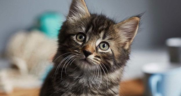 7 Cara Merawat Bulu Kucing Agar Tidak Rontok