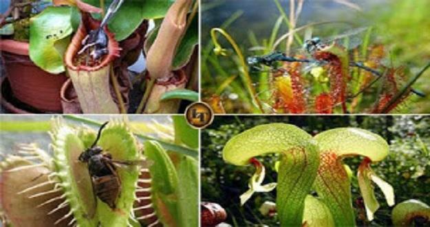 5 Tanaman Cantik Pemakan Serangga