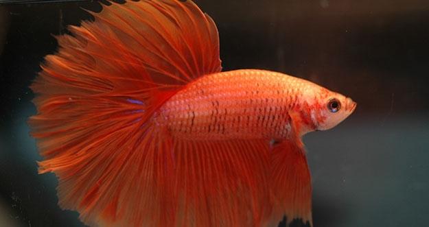 8 Penyebab Ikan Cupang Kehilangan Sisik