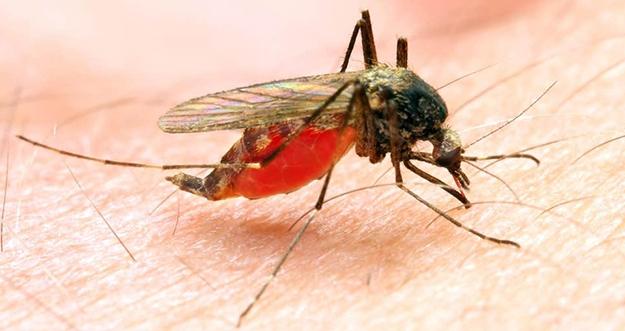 7 Penyakit Berbahaya Yang Bisa Ditularkan Nyamuk