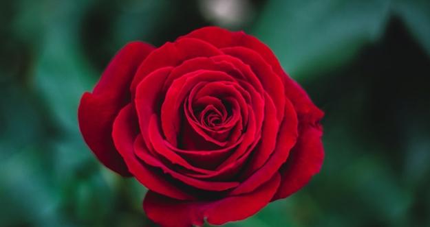 10 Bunga Beserta Maknanya Dalam Asmara
