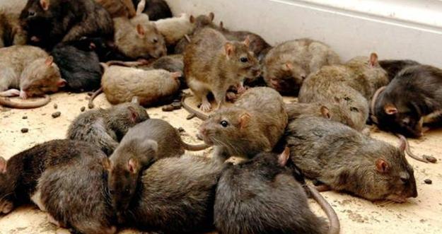 Cara Aman Mengusir Tikus