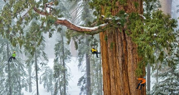 Foto Menakjubkan Pohon Raksasa 3200 Tahun, 'The President'