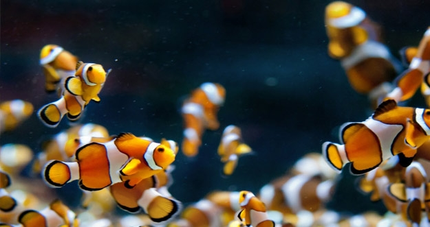 Memelihara Ikan Ternyata Memiliki Manfaat Kesehatannya Tersendiri