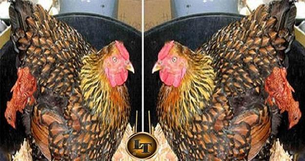 Aneh, Ayam Betina Melahirkan Layaknya Hewan Mamalia