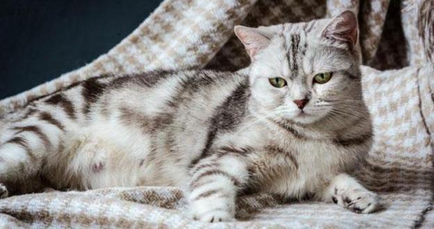 7 Ciri-Ciri Kucing Hamil Dan Akan Melahirkan
