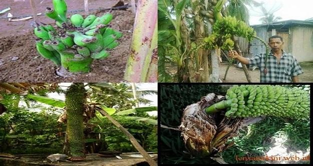 8 Pohon Pisang Dengan Buah Paling Aneh