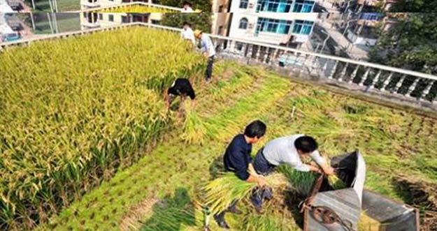 Petani Di Cina Bercocok Tanam Di Atas Gedung